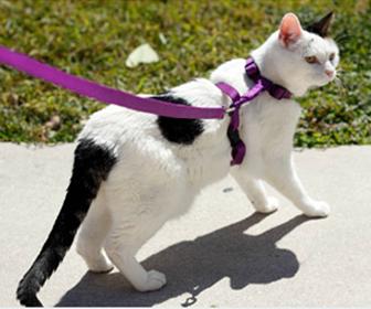 災害時のために猫にハーネスの訓練をさせる
