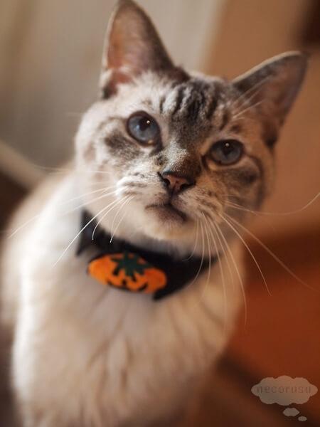セリアのハロウィンかぼちゃ猫首輪