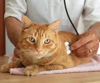 猫の便秘、動物病院受信目安