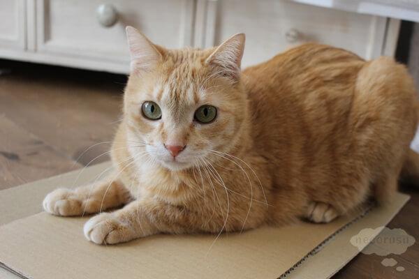 カリカリーナが入っていた箱で爪を研ぐ猫