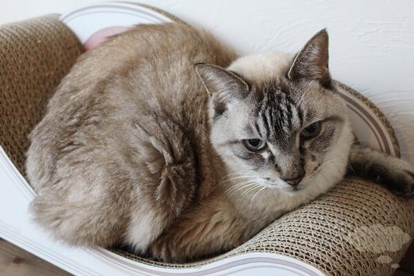 カリカリーナに載る大きめの猫