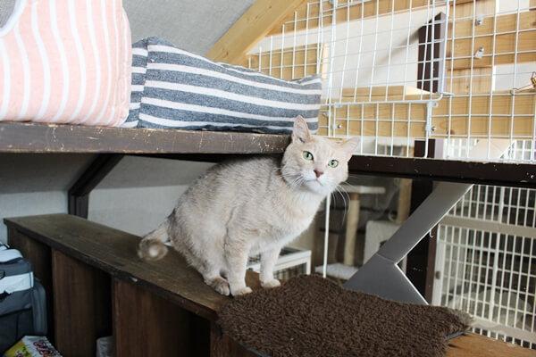 LOVE & Co.さんの保護猫居住スペースにいるハンサム君