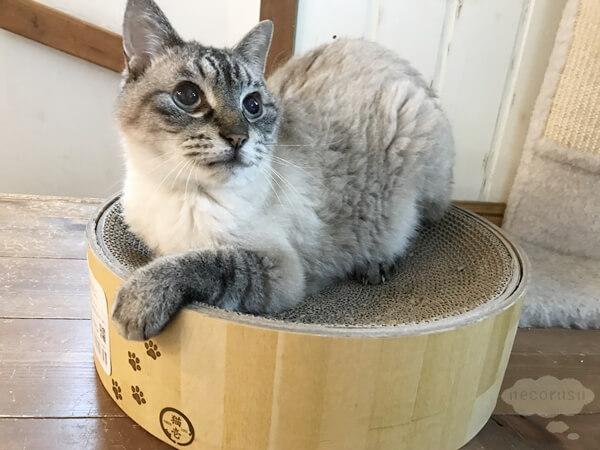 猫壱のバリバリボウル爪とぎに乗る猫