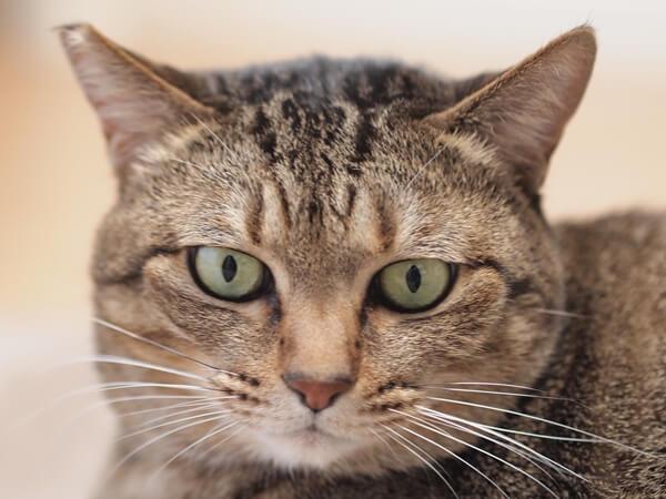 キジトラ柄の猫の性格