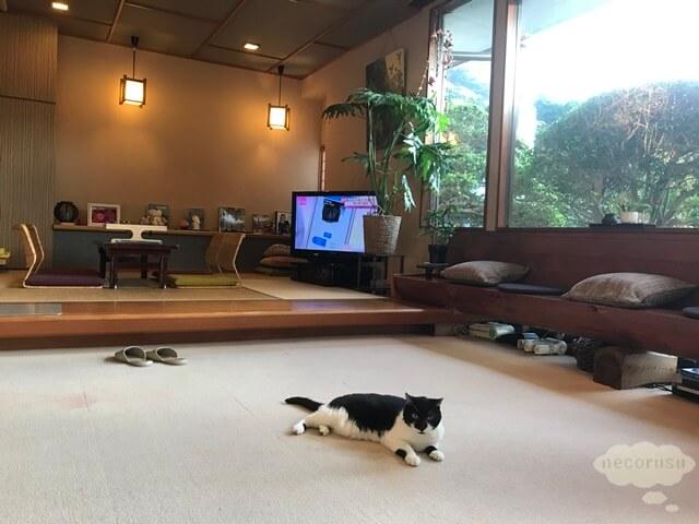 箱根仙石原、猫のいる温泉旅館みたけ、看板猫のサスケ君