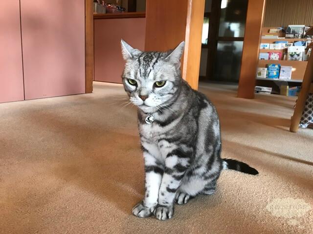 箱根仙石原、猫のいる温泉旅館みたけ、看板猫のミルクちゃん